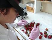 О возврате экспортерам 50 тонн свежих ягод, зараженных карантинным вредителем
