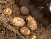 Об обследовании в Брянской области ранее установленных карантинных фитосанитарных зон по раку картофеля