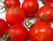 Более 14 тонн зараженных карантинным вредителем марокканских томатов черри возвращены отправителю