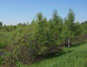Более 40 гектаров дубровских земель сельхозназначения заросли бурьяном