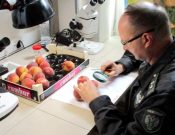 О возврате очередной партии турецких персиков, зараженных цветочным трипсом