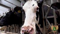 Видео: Нодулярный дерматит крупного рогатого скота