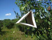 Об итогах применения феромонных и цветных ловушек на территории Брянской и Смоленской областей
