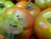 В Сербию вернули 19 тонн томатов, зараженных молью