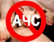 Африканская чума свиней. Опасность сохраняется