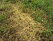 В Брянской области сокращены площади сельскохозяйственных угодий, зараженных карантинным сорняком
