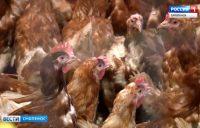 Видео: Смоленских фермеров призвали следить за птицей, сюжет ГТРК «Смоленск»