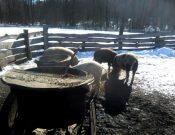 Личное подсобное хозяйство в Дубровском районе, занимающееся разведением свиней, продолжает нарушать ветеринарное законодательство
