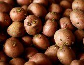 О результатах контроля импортного семенного картофеля, ввозимого через территорию Брянской и Смоленской областей
