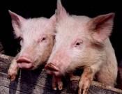 Новые вспышки африканской чумы свиней в Волгоградской и Тверской областях