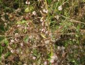 В Брянской области выявлены очаги повилики полевой