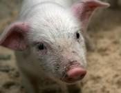 О новых вспышках африканской чумы свиней, зафиксированных 10 сентября т.г.