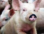 Крупнейший свинокомплекс Смоленской области не соблюдает требования ветеринарного законодательства