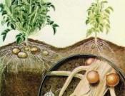 О выявлении в Брянской области золотистой картофельной нематоды