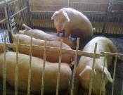 О неисполнении смоленским свиноводческим предприятием обязательных требований ветеринарного законодательства