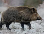 О распространении вспышки африканской чумы свиней в государственном комплексе «Завидово» на территории Клинского района Московской области