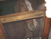 В Брянской области пресечена попытка незаконного ввоза лошадей
