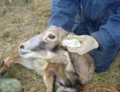 Охотничье хозяйство «Смоленское» реализует программу расширения видового состава диких животных