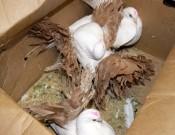 О возврате живых голубей на территорию Украины