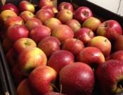 О возврате 3,9 тонн яблок в Республику Беларусь