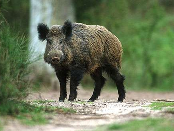 Вниманию руководителей свиноводческих хозяйств и владельцев животных! В Калужской области у диких кабанов выявлена АЧС