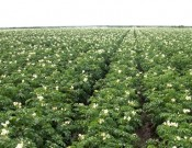 Вниманию руководителей картофелеводческих хозяйств