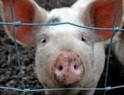 Вниманию руководителей свиноводческих хозяйств и владельцев животных! Угроза заноса вируса АЧС сохраняется