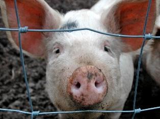 В Жуковском районе Брянской области установлен карантин по африканской чуме свиней