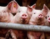 Африканская чума свиней. Опасность сохраняется!