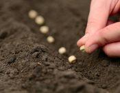 О типовых нарушениях обязательных требований законодательства в области семеноводства сельскохозяйственных растений