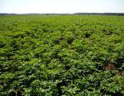 О снятии карантина по золотистой картофельной нематоде в Брянской области
