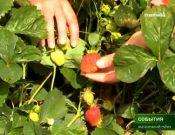 Видео: Десятки сортов земляники садовой создают в Брянском аграрном университете, ТК «Брянская Губерния»