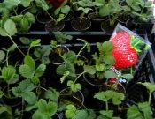 В Смоленской области установлены факты нарушения правил ввоза посадочного материала сельскохозяйственных растений