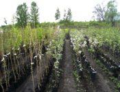 Обследование многолетних плодовых и декоративных насаждений в Брянской области не выявило карантинных организмов