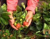 Видео. Земляника садовая. Как получить хороший урожай и как уберечь посадки от болезней и вредителей?