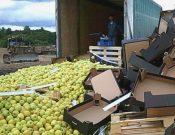 Более 19 тонн яблок, перевозимых без фитосанитарных сертификатов, утилизировано в Смоленской области