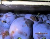Более 7 тонн слив, зараженных карантинным вредителем, возвращено сербскому отправителю