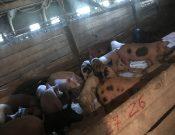 О результатах контроля смоленского свиноводческого предприятия, принадлежащего ООО «Агромясопром»