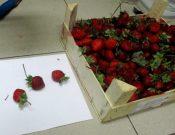О продолжающихся попытках ввоза растительной продукции турецкого происхождения, зараженной карантинными вредителями