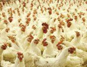 Вниманию хозяйствующих субъектов, занятых с сфере птицеводства