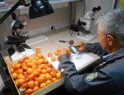 Информация о карантинных вредителях, выявленных в импортной растениеводческой продукции в августе 2018 года