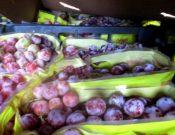 В Смоленской области белорусскому отправителю возвращено более 40 тонн винограда, зараженного плодовой мухой