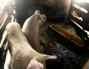 По результатам проведенной Управлением Россельхознадзора проверки Духовщинский районный суд Смоленской области приостановил деятельность свиноводческого хозяйства на 30 суток