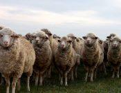 Оспа овец и коз — опасное инфекционное заболевание