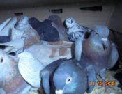 Голуби, мясо и колбаса неизвестного происхождения, перевозимые с нарушением ветеринарных требований, не прошли контроль