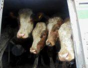 Пресечена очередная попытка транзита через Брянскую область крупного рогатого скота из Украины, перевозимого с нарушениями