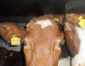 Об участившихся случаях нарушений при транзите крупного рогатого скота из Украины через Брянскую область