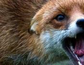 Эпизоотическая ситуация по бешенству среди животных на территории Брянской и Смоленской областей