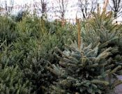 Особенности реализации новогодних елей и сосен