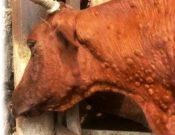 Заразный узелковый дерматит крупного рогатого скота — опасное инфекционное заболевание